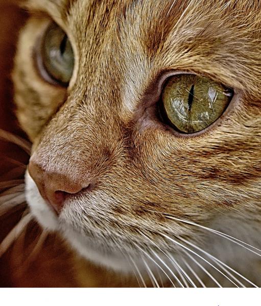 Katze braun-orange