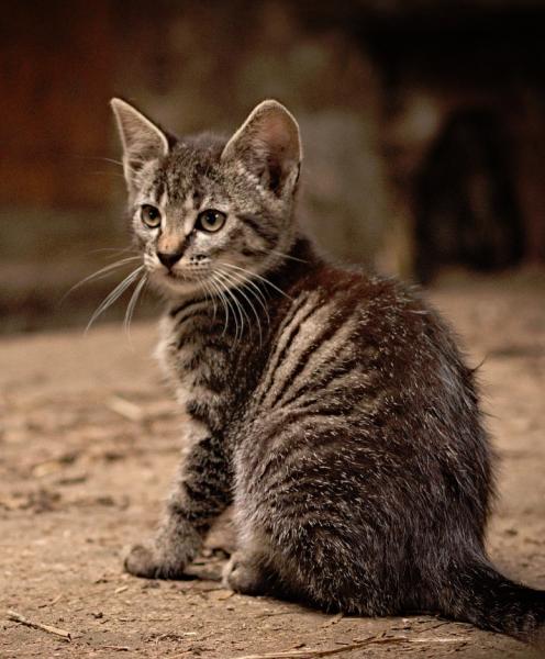 Kätzchen braun getigert