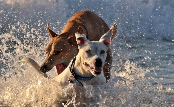Hunde am schwimmen