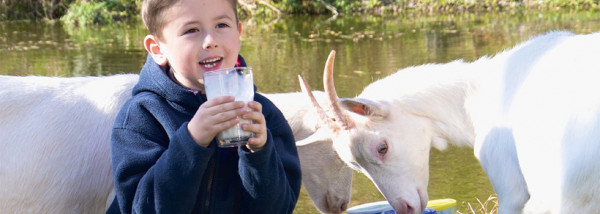 Bambin boy with goats