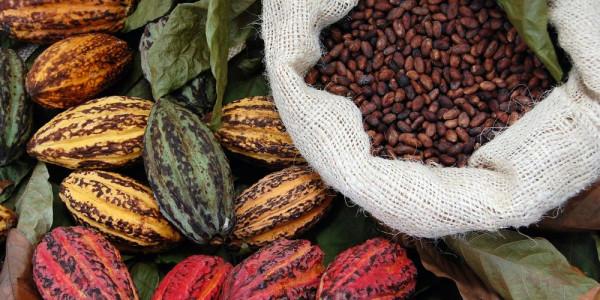 Storck Qualität Kakaobohnen Kakaopflanzen