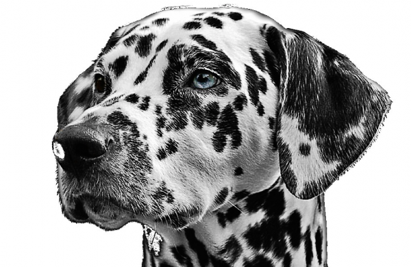 Dalmatinerporträt