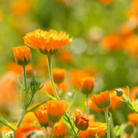 Weleda Meadow Calendula Flower