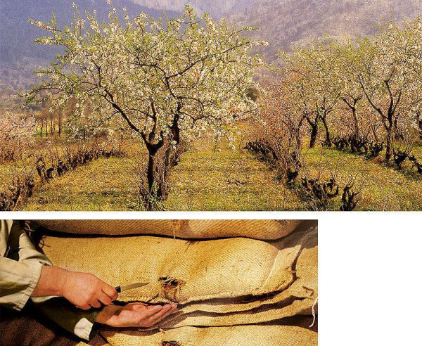 Niederegger almond trees